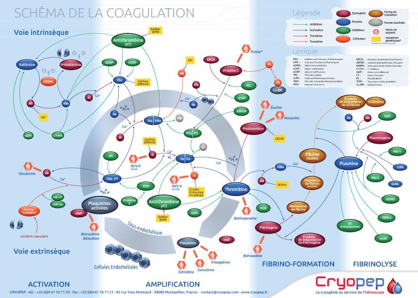 CRYOPEP-Poster-coagulation-HD